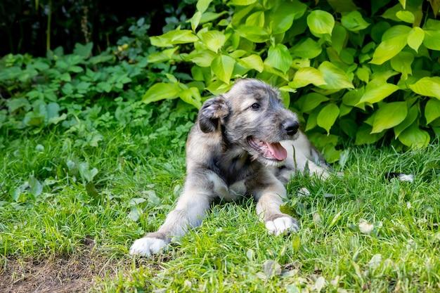 Perro lobo irlandés de tres meses en el jardín. el cachorro de raza el perro lobo irlandés descansa sobre una hierba verde en el patio.