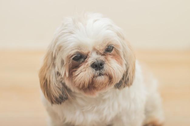 Perro marrón claro de raza mal-shih delante de una pared blanca