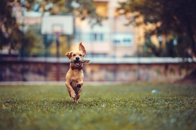 Perro marrón corriendo sobre la hierba