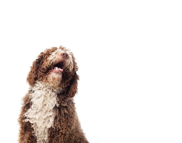 Perro marrón de pelo largo mirando hacia arriba