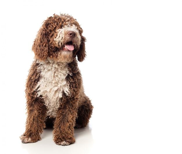 Perro marrón de pelo largo sentado con la lengua fuera