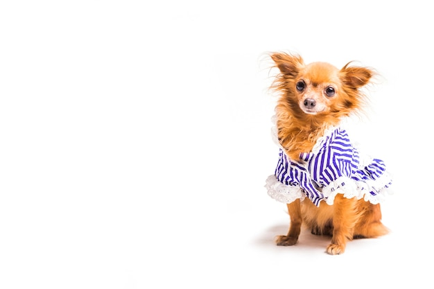 Perro marrón con vestido azul aislado sobre fondo blanco