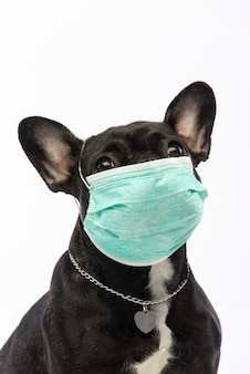 Perro en una máscara médica. bulldog francés. coronavirus