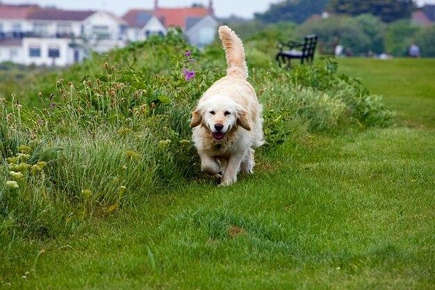 Perro mascota canina animales retriever dorado