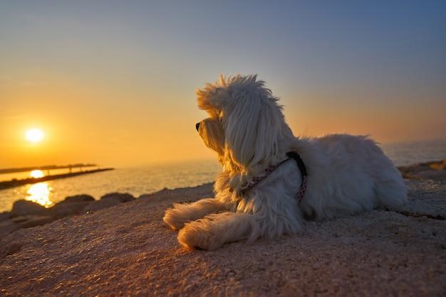 Perro mascota maltichon buscando playa puesta de sol