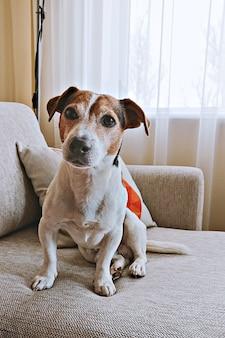 El perro mayor adulto del animal doméstico de russell del gato se sienta en el sofá beige