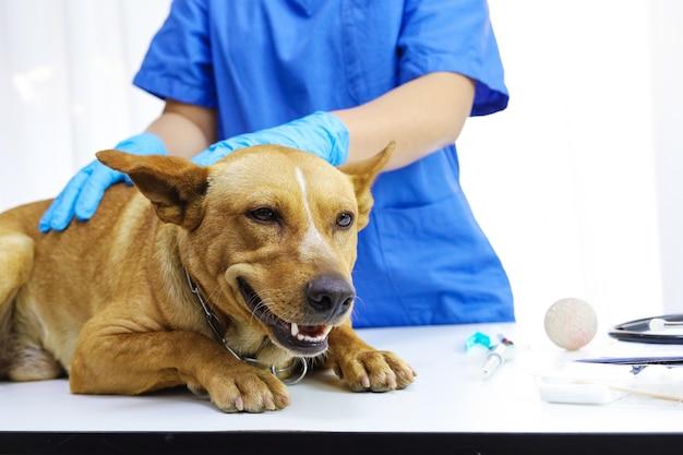 Perro en la mesa de examen de la clínica veterinaria. cuidado veterinario. veterinario médico y perro.