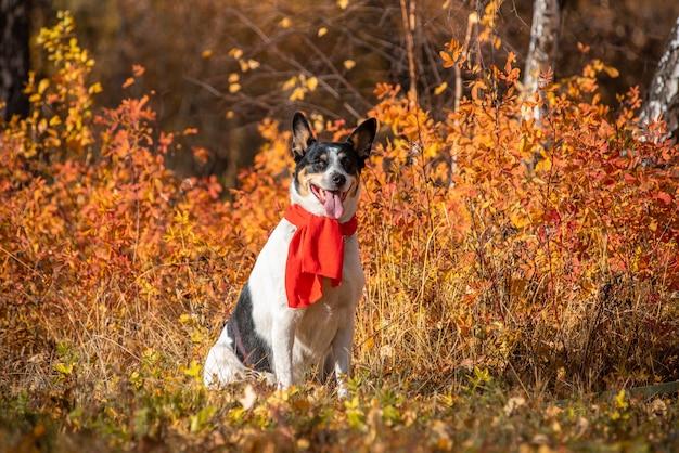 El perro mestizo camina en el parque del otoño en una bufanda.