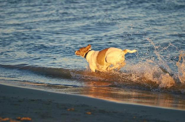Perro mongrell, podenco, jack russel terrier corriendo en una playa.