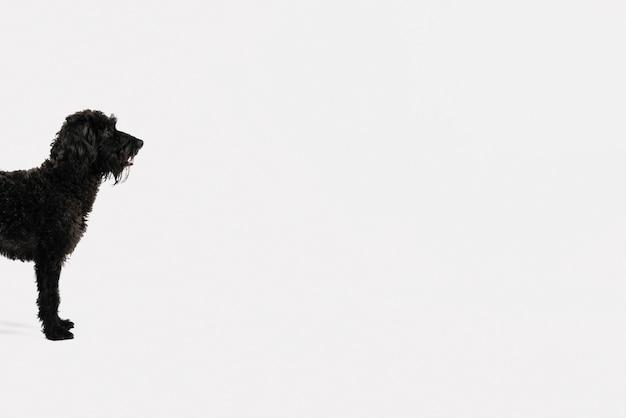 Perro negro adorable posando sobre fondo blanco