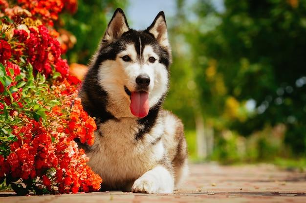 Perro negro que miente cerca de un arbusto que florece rosas. retrato de un husky siberiano.