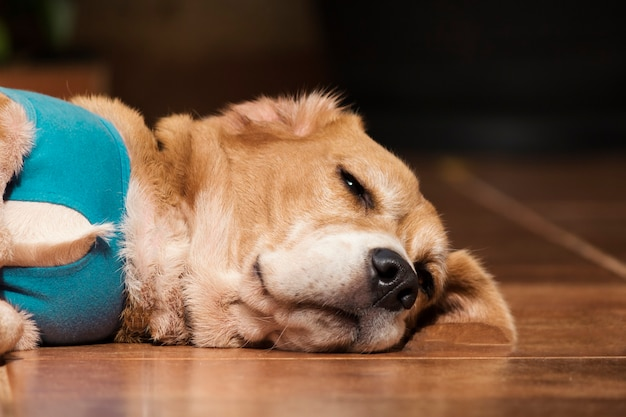 Perro con paño posoperatorio en jardín. beagle de presa joven con clouth en una casa.