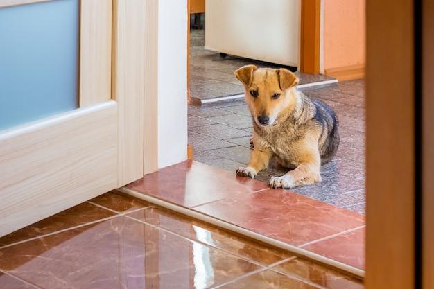 El perro está en el pasillo a la entrada de la habitación. cuidar perros en casa. el perro protege la vivienda.