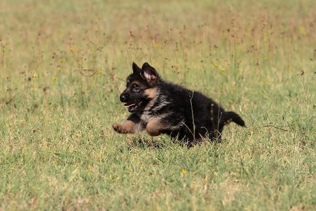 Perro pastor alemán cachorro