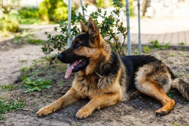 Perro pastor alemán tirado en el pasto en el parque