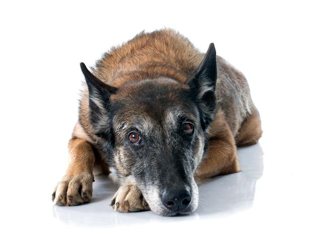 Perro pastor belga
