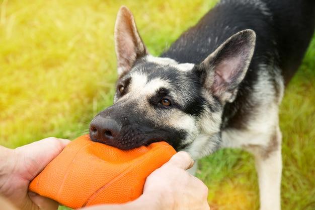 Perro pastor de europa del este jugando a la pelota con el dueño. el perro rasgó la pelota. el concepto de mascotas