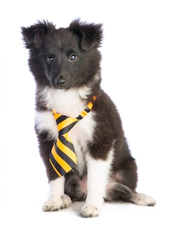 Perro pastor de shetland con corbata rosa