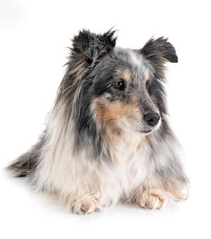 Perro pastor de shetland en estudio