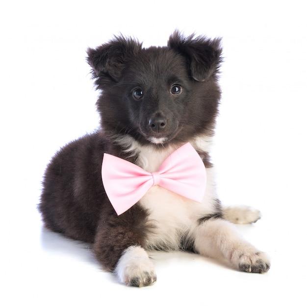 Perro pastor de shetland con pajarita rosa