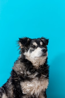 Perro peludo de alto ángulo sobre fondo azul