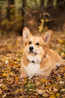 Perro pembroke corgi galés acostado entre las hojas doradas caídas