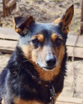 Perro pequeño dachshund color pastor alemán de cerca en una cadena con un collar en una casa de campo.