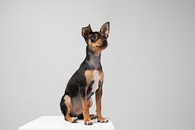 Perro pequeño siendo adorable retrato en un estudio.