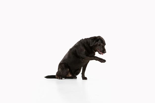 Perro perdiguero de labrador negro divirtiéndose. lindo perro juguetón o mascota de raza pura se ve juguetón y lindo aislado en blanco