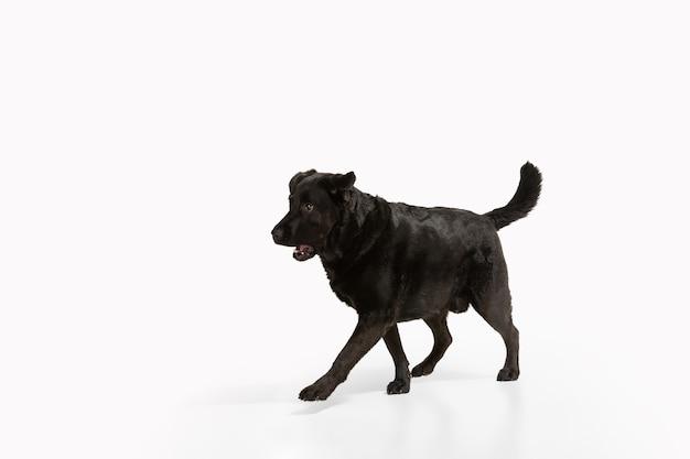 Perro perdiguero de labrador negro divirtiéndose