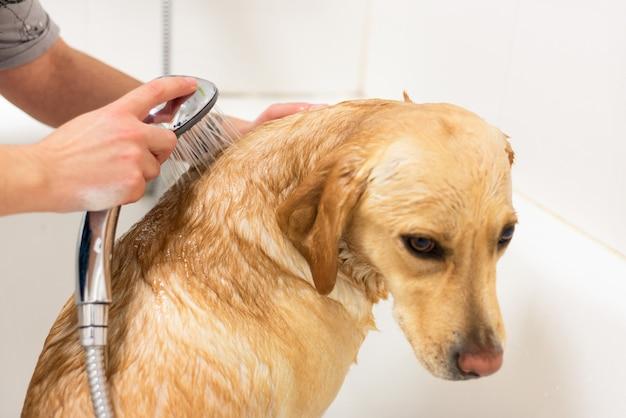 Perro perdiguero de labrador que toma un baño.
