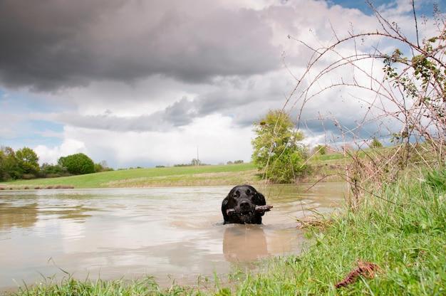 Un perro perdiguero negro jugando a buscar en el agua