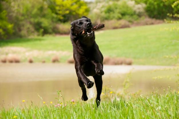Un perro perdiguero negro jugando fetch