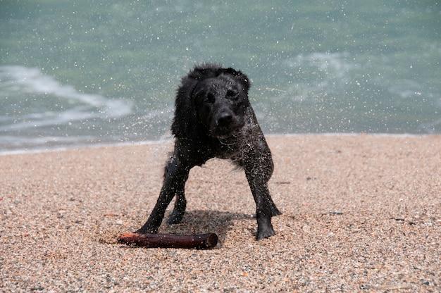 Un perro perdiguero negro temblando para secarse