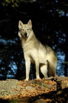 Perro perro lobo checoslovaco