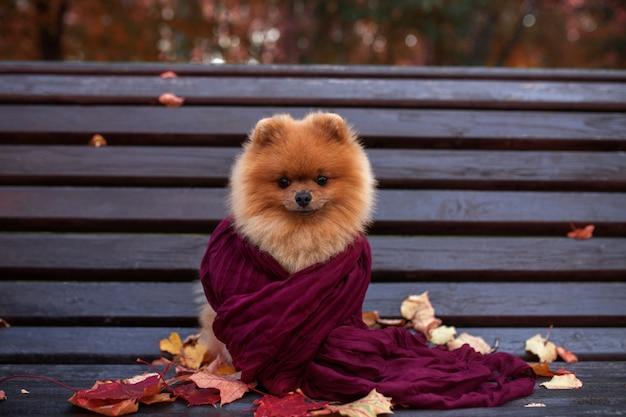 Perro pomerania en el banco envuelto en la bufanda púrpura. hermoso perro otoño en un parque con hojas de otoño