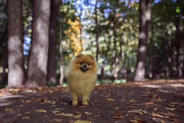 Perro pomerania caminando en el parque otoño. perro hermoso y lindo