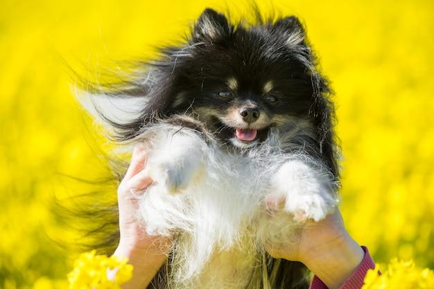 Perro pomerania y campo amarillo de flores de violación