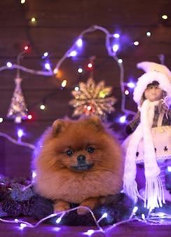 Perro pomerania en decoraciones de navidad en el piso de madera. perro de navidad.