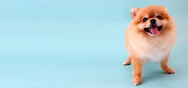 Perro pomerania con fondo azul.