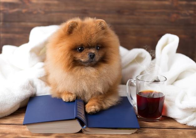 Perro pomerania inteligente con un libro. un perro refugiado en una manta con un libro.