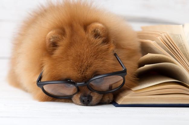 Perro pomerania inteligente con un libro.