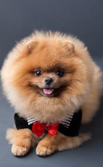 Perro pomerania en un traje con una rosa roja en la pared oscura. retrato de un perro en clave baja
