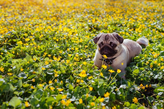 Perro pug caminando en el bosque de la primavera.