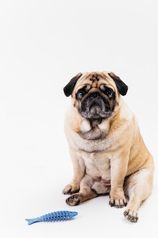 Perro de pug gordito triste y espina de pez azul dent-a-chew