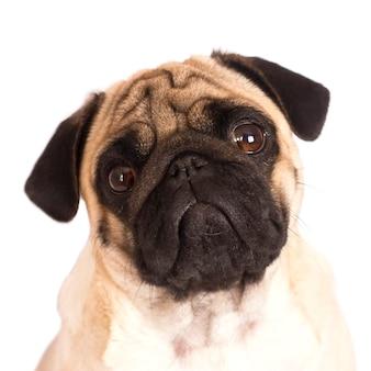 El perro pug se sienta y mira directamente a la cámara. ojos grandes y tristes.