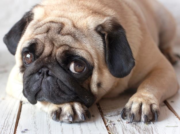 Perro pug triste con grandes ojos acostado en el piso de madera