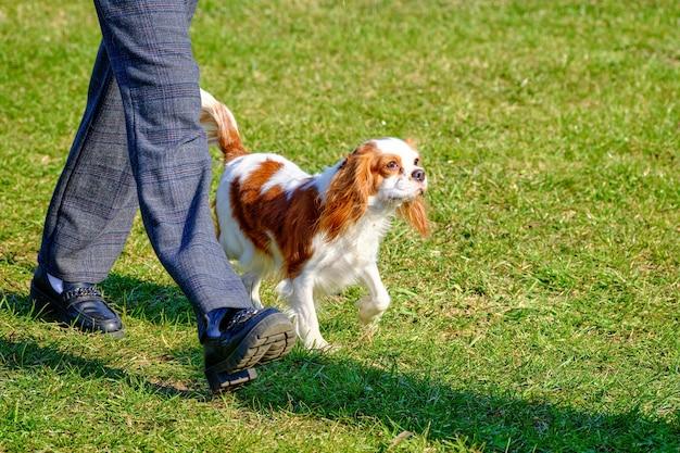 Perro de pura raza cavalier king charles spaniel en un paseo.