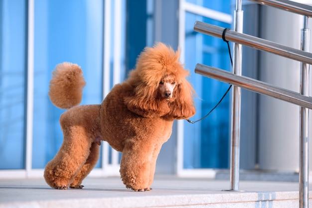 Perro raza caniche pequeño color melocotón se encuentra en el centro comercial.
