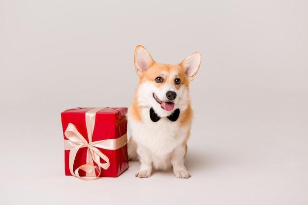 Perro raza corgi en corbata con caja de regalo roja sobre blanco